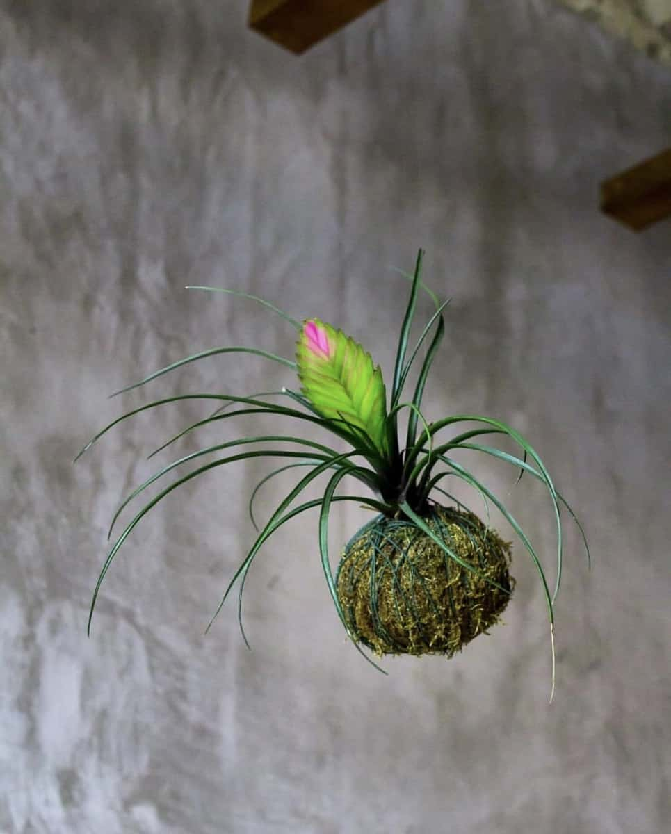 Can you hang kokedama outside