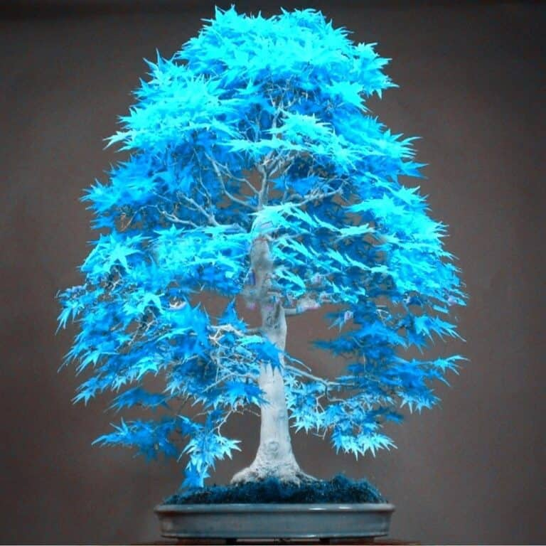 are blue bonsai trees real