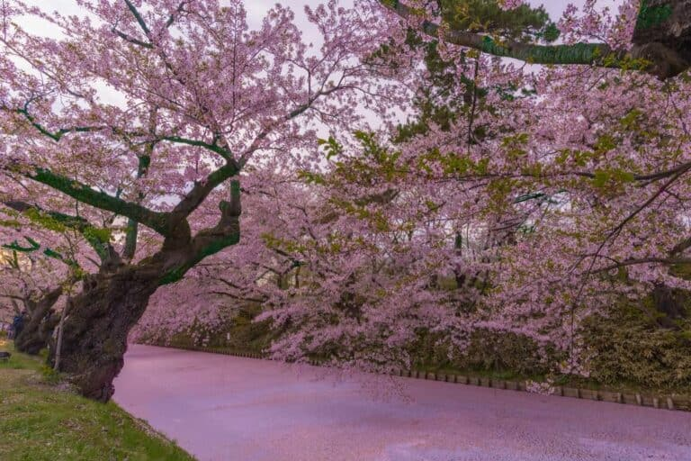 Can Cherry Blossom Trees Grow In Florida?